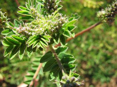 Astragalus